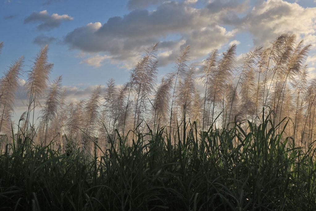 Sugar cane at NPH Nicaragua